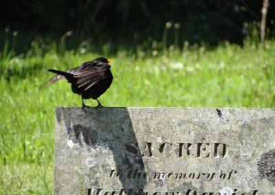 SacredBlackbird-sml